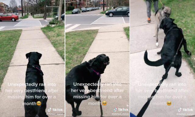 Dopo la quarantena i due cani si rivedono