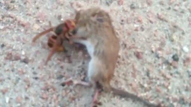 Vespa mandarinia e topo che lottano