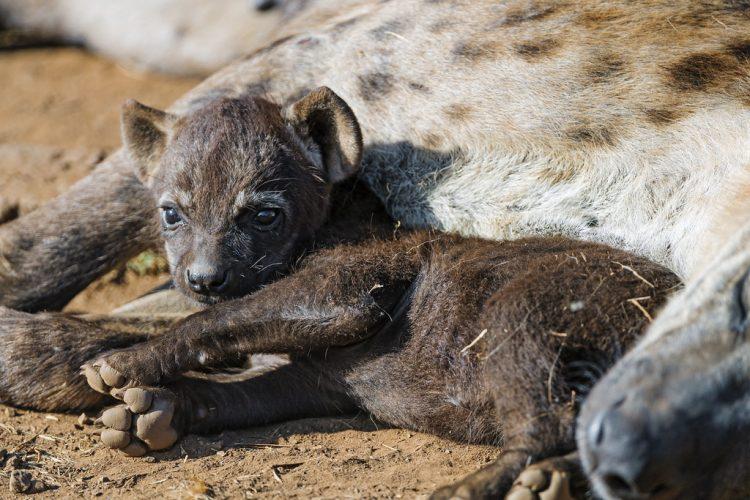 Cuccioli di iena