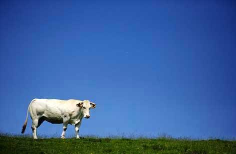 Ragusa, uccisa una mucca imbizzarrita