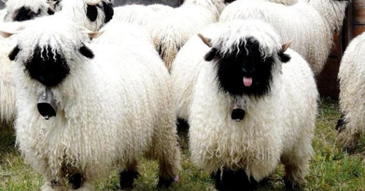 Pecore dal naso nero