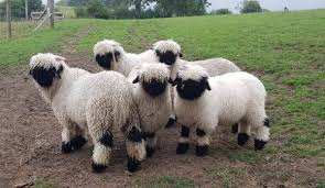Gregge di pecore dal naso nero