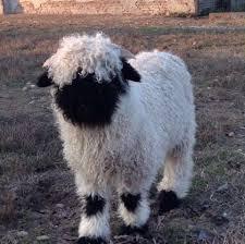 Pecore svizzere