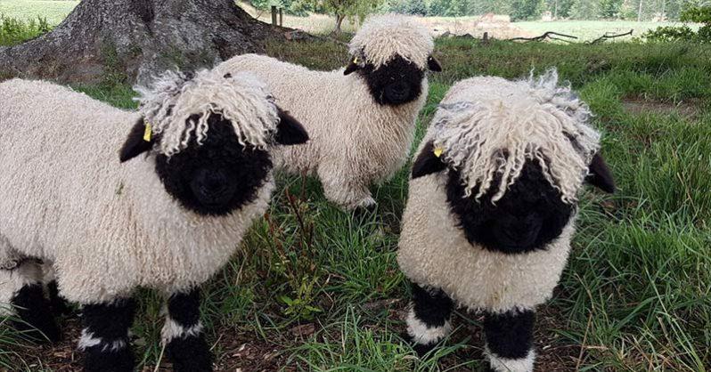 Gruppo di pecore dal naso nero