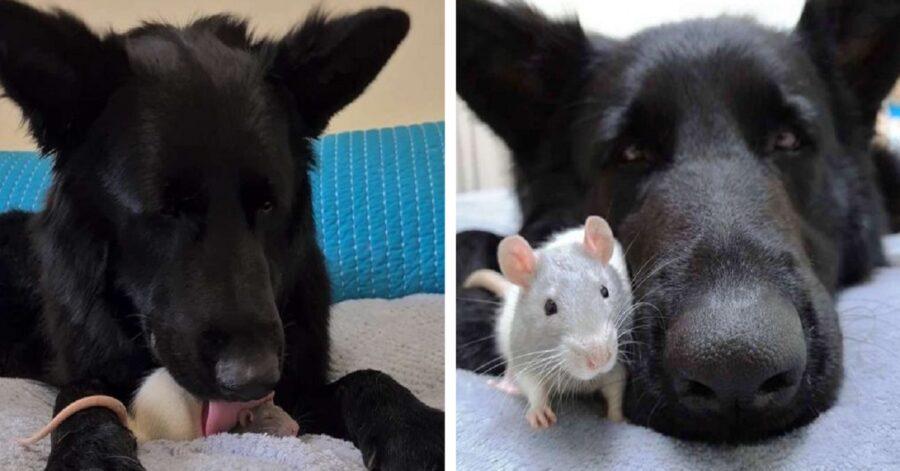Roditore e il miglior amico cane