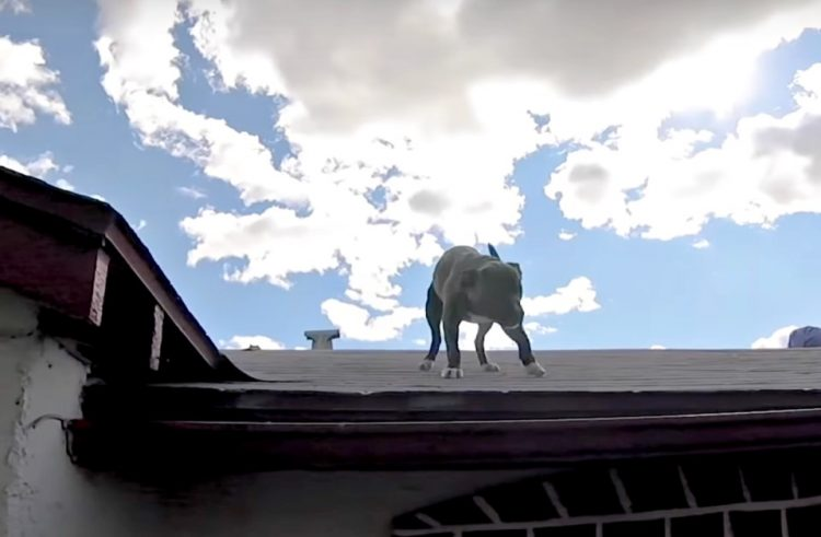 Pitbull non riesce a scendere dal tetto