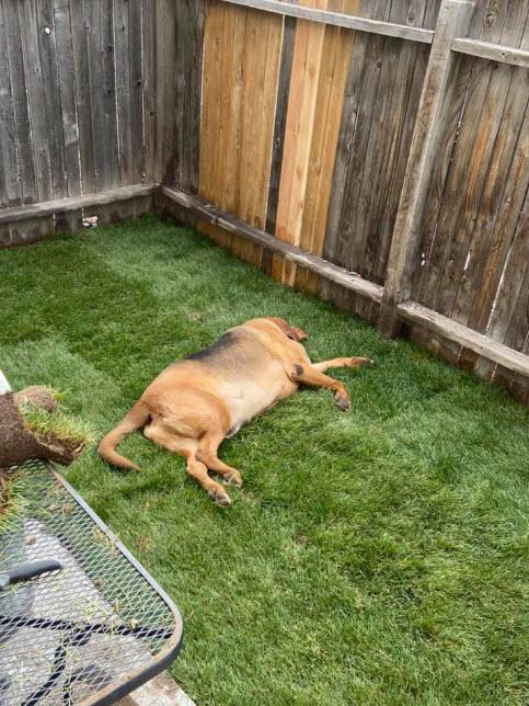 cane steso sull'erba