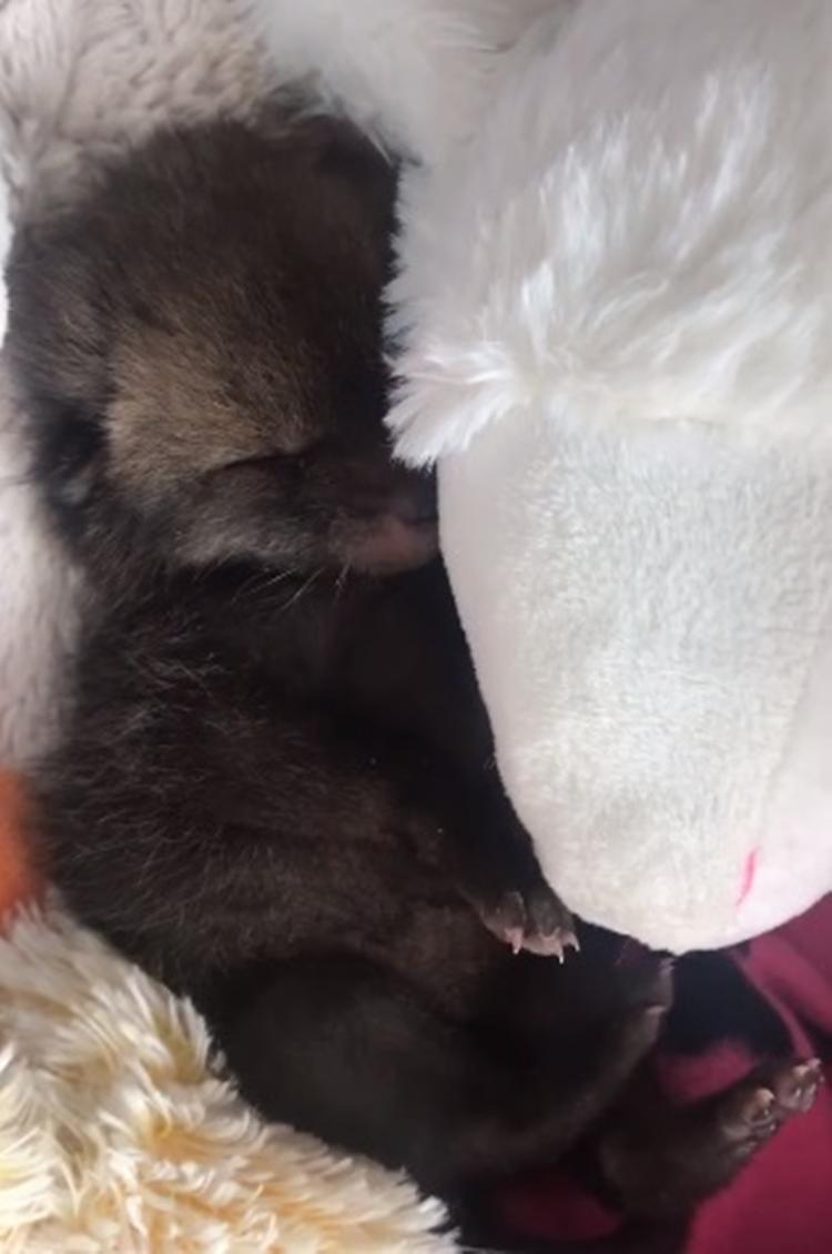 Cucciola di volpe abbandonata dalla mamma