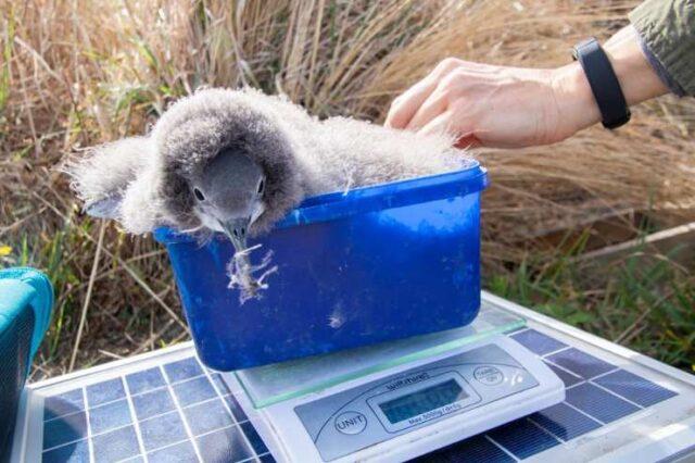 Pulcini di uccelli marini salvati da un tassista