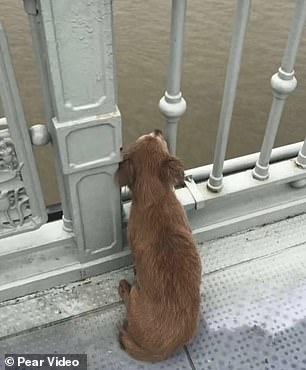 Cane aspetta sul ponte
