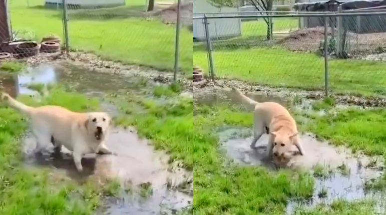 Labrador gioca nelle pozzanghere