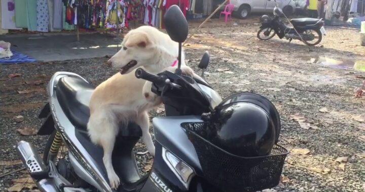 Cane obbediente sullo scooter