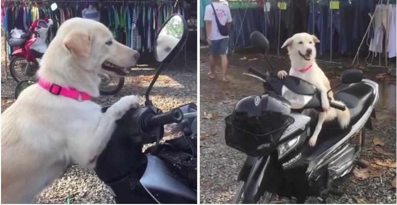 Il cane aspetta sullo scooter