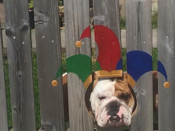 Bulldog vestito da joker
