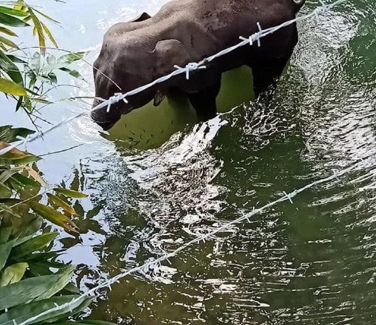 Elefantessa incinta uccisa da un frutto farcito di petardi