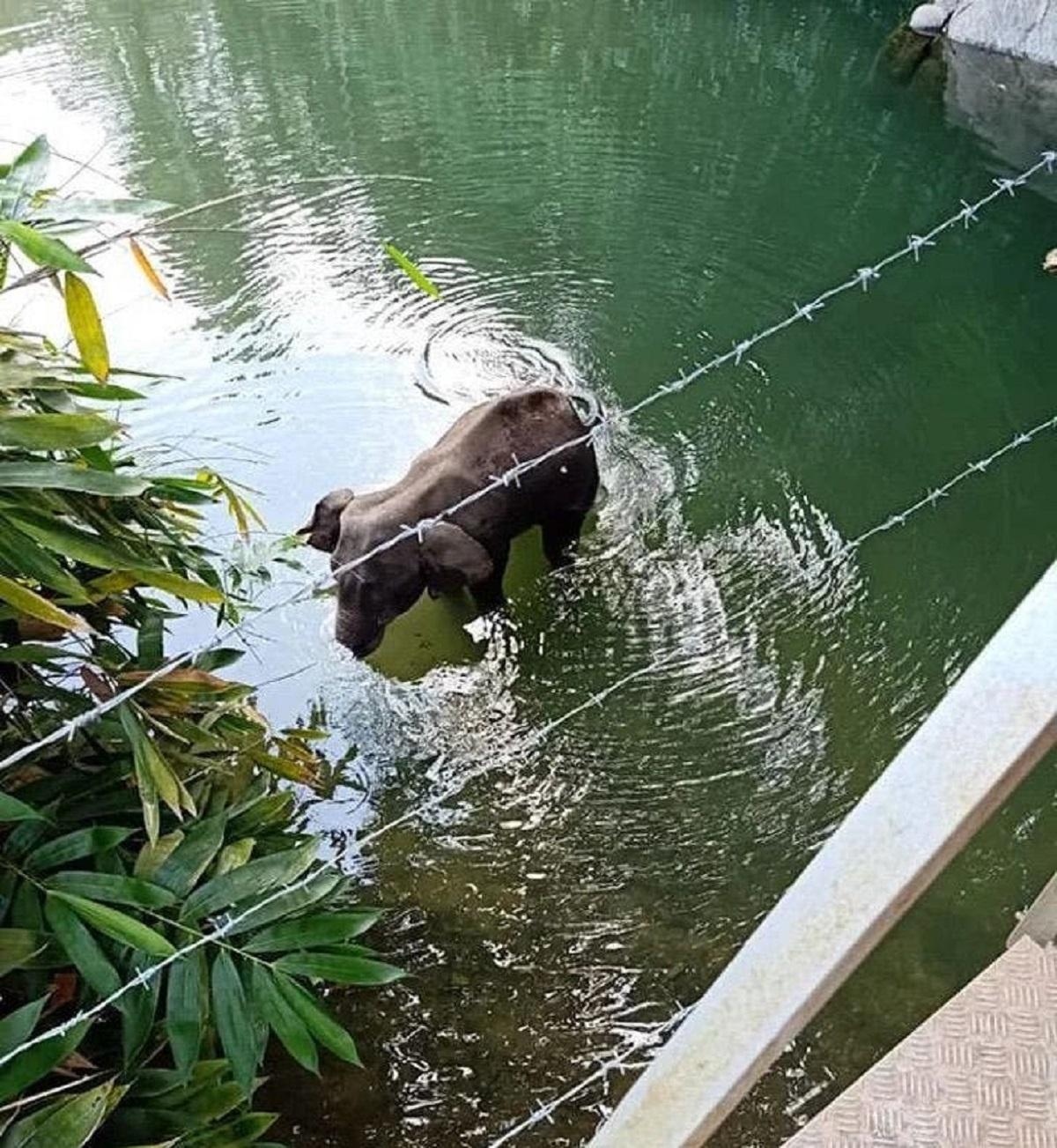 Elefantessa incinta mangia ananas pieno di petardi che esplode: Morta con la bocca dilaniata