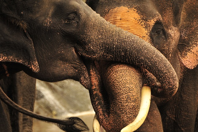 elefanti thail