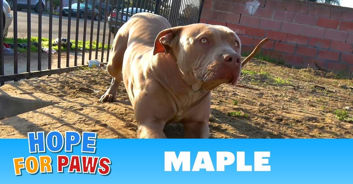 La storia di Maple