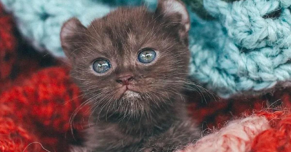 Gattino con orecchie da orso