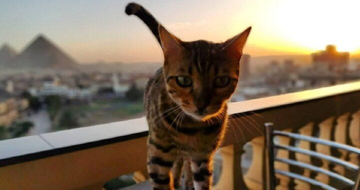 Gatto viziato in Egitto