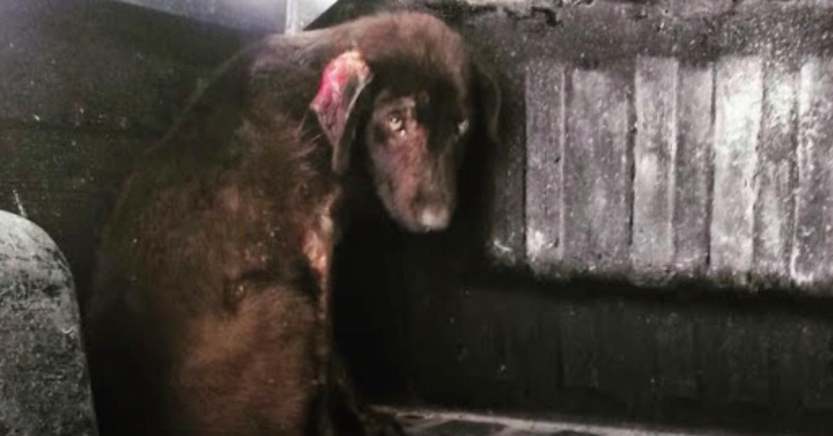 il salvataggio di Lamb cane abbandonato