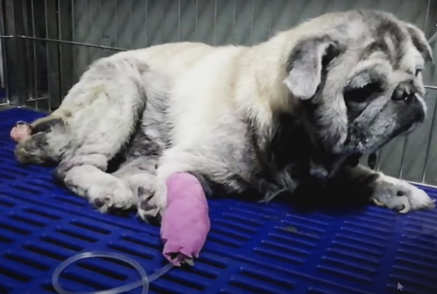 Cane curato dal veterinario