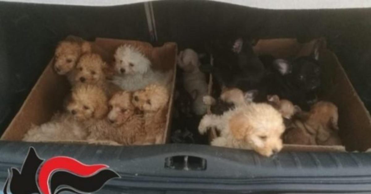 scoperto traffico di cuccioli dall'est Europa a Lodi