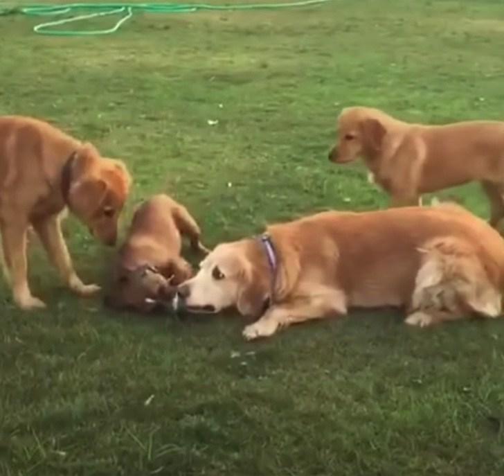 Karma gioca con altri cani