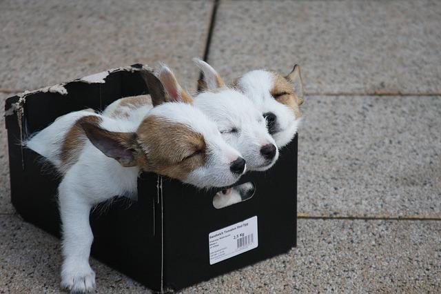 Cuccioli fratelli in una scatola