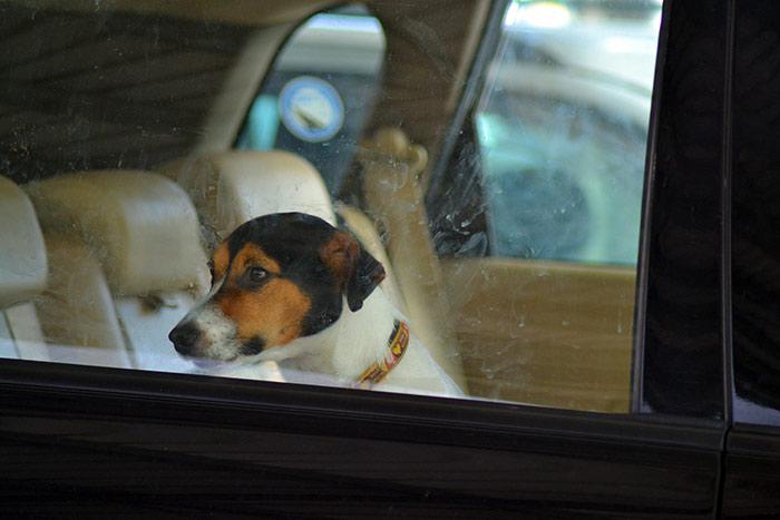 Pisa, Cane lasciato chiuso in macchina