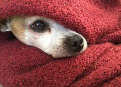 Cane dorme sotto le coperte