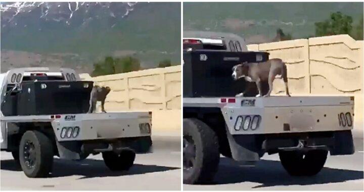 Il video del cane in equilibrio sul retro di un camion