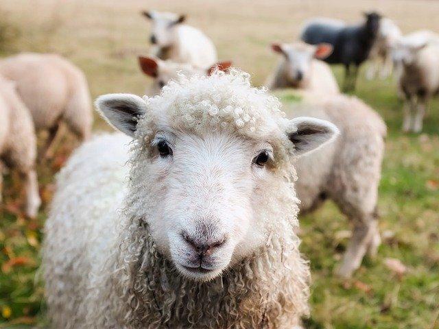 Una pecora al posto del cane