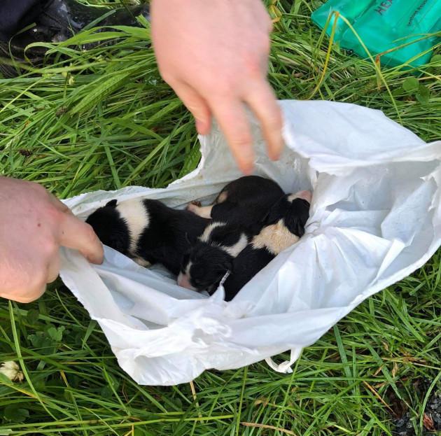 Cuccioli di Border Collie salvati