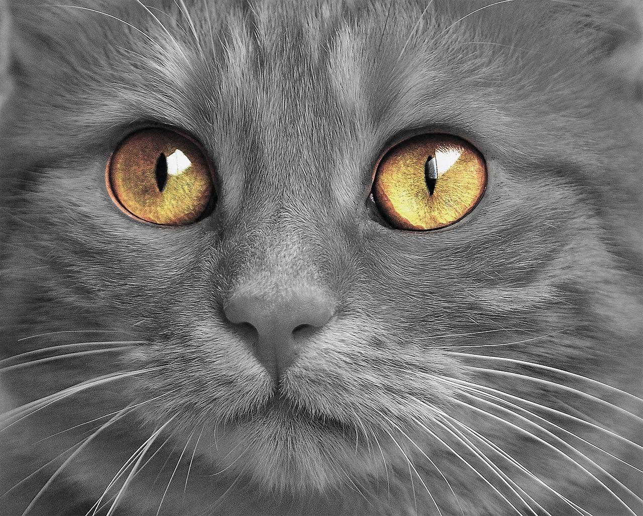 Gatto grigio di nome Pitoe