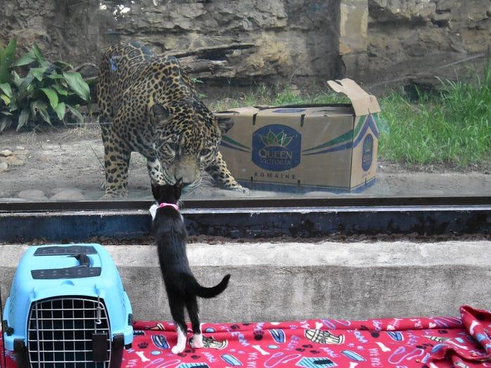 Il gattino e il grande felino
