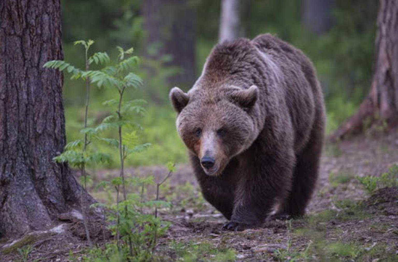 L'orso del Monte Peller è una femmina