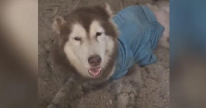 Il salvataggio dell'husky abbandonato con le zampe ferite