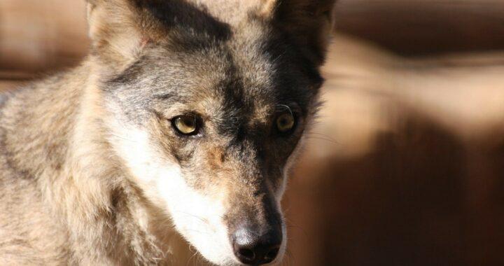 Cucciolo di coyote salvato