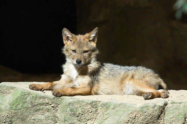 Il cucciolo di coyote in difficoltà