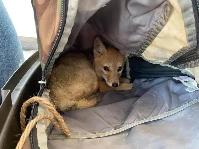 Il cucciolo di coyote in vacanza