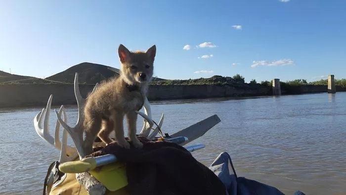 Coyote in giro in barca