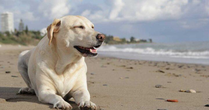 Labrador salva dall'annegamento bambino di 6 anni