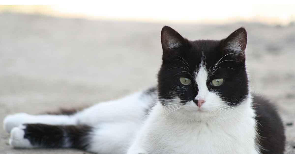 Il gatto bianco e nero