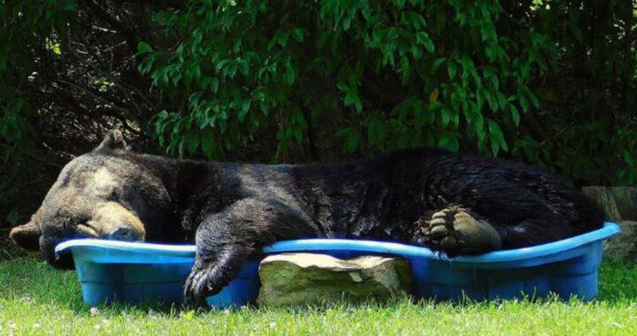 Regina Keller e l'orso nella piscina