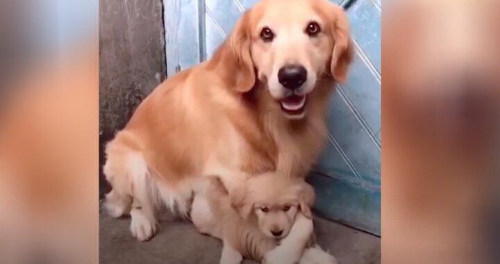 papà protegge cucciola