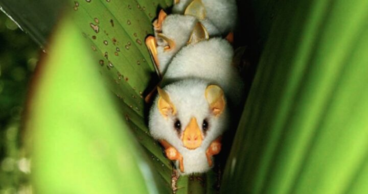 Pipistrelli bianchi cullati in una foglia: la foto di Supreet Sahoo