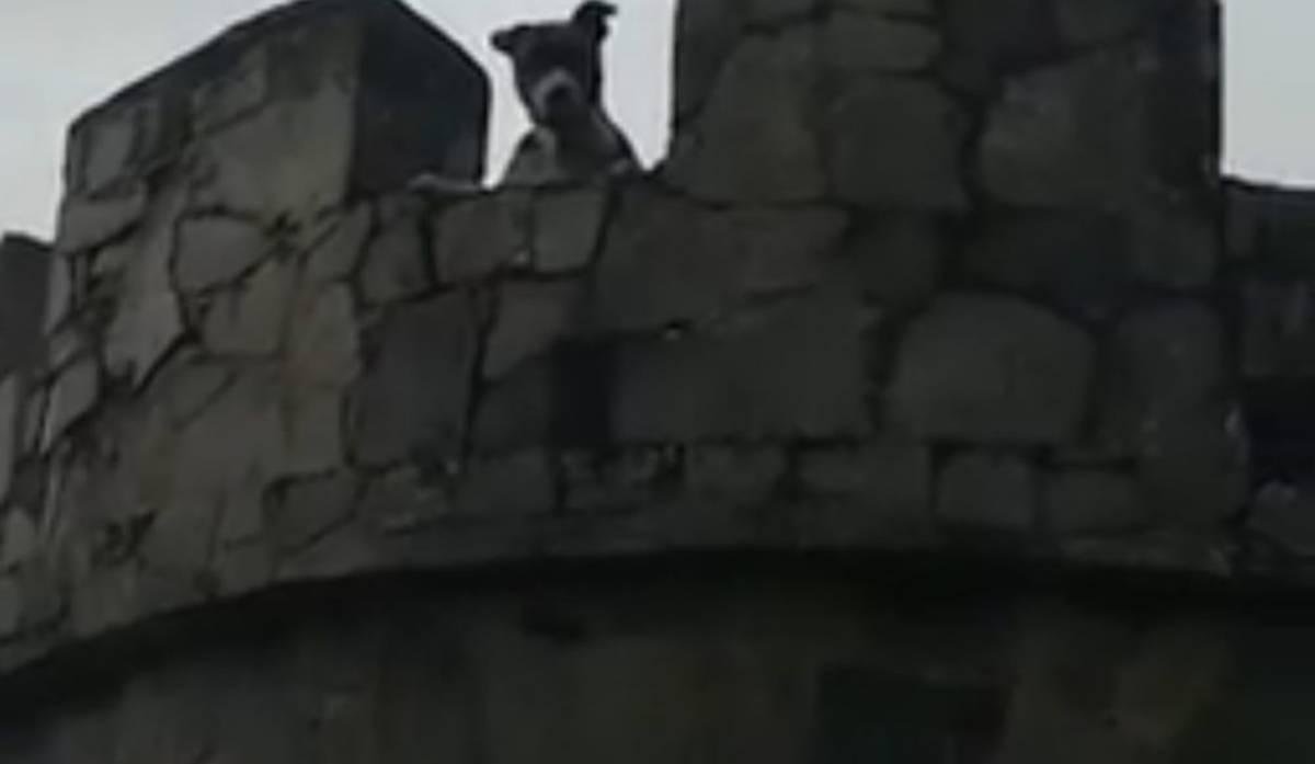 Ragnar il pitbull