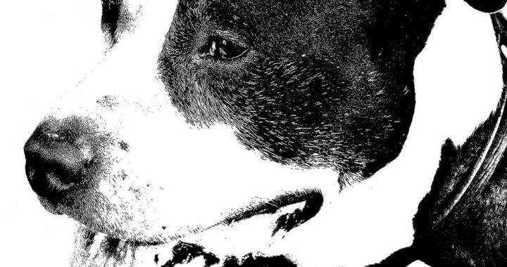 Salvano un cane usato nei combattimenti