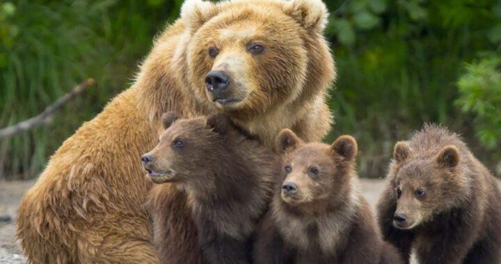 Trentino, sospesa l'ordinanza per abbattere l'orsa del Monte Peller